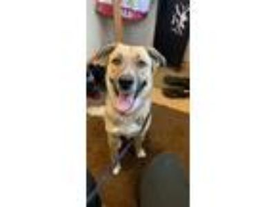 Adopt Binx a Black - with Tan, Yellow or Fawn German Shepherd Dog / Halden Hound
