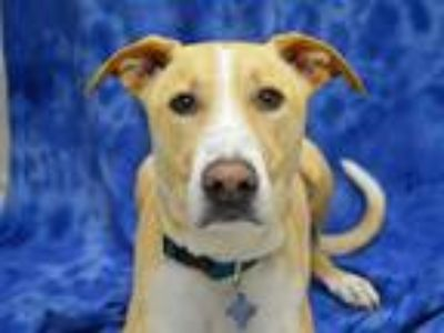 Adopt Marvin a American Pit Bull Terrier / Shepherd (Unknown Type) / Mixed dog