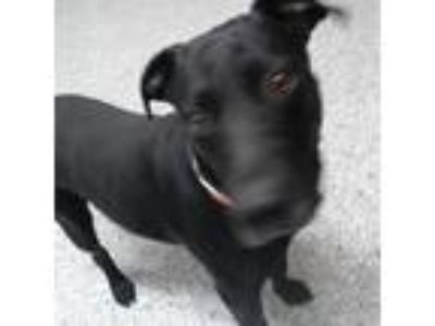 Adopt Baby Dee a Black Labrador Retriever dog in Knoxville, TN (25284675)