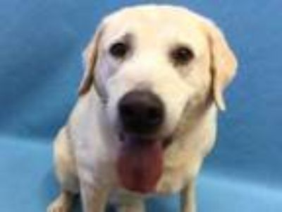 Adopt Chester a Tan/Yellow/Fawn Labrador Retriever / Mixed dog in St.