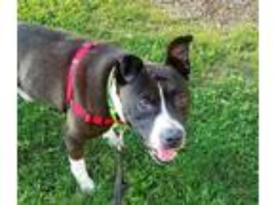 Adopt Dally a American Pit Bull Terrier / Mixed dog in Pittsburgh, PA (25938368)