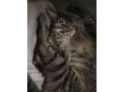 Adopt Milo a Brown Tabby Domestic Shorthair / Mixed cat in Brandon