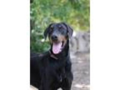 Adopt Gryff a Black - with Tan, Yellow or Fawn Doberman Pinscher / Mixed dog in