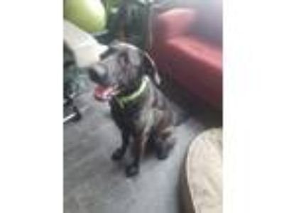 Adopt Bennett a Brown/Chocolate Labrador Retriever / Mixed dog in Evergreen