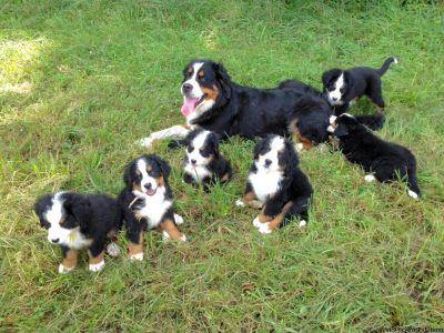Bernese Mt Dog Puppies