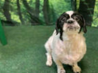 Adopt *WILL a White - with Black Shih Tzu / Mixed dog in Upper Marlboro