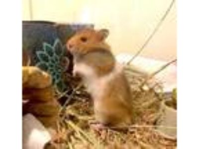 Adopt Mantis a Brown or Chocolate Hamster / Mixed small animal in Seattle