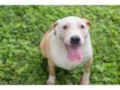 Adopt Bella a White - with Tan, Yellow or Fawn Labrador Retriever / Mixed dog in