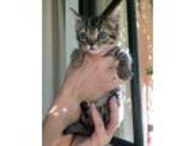 Adopt Dove a Brown Tabby Domestic Shorthair / Mixed (short coat) cat in Fort