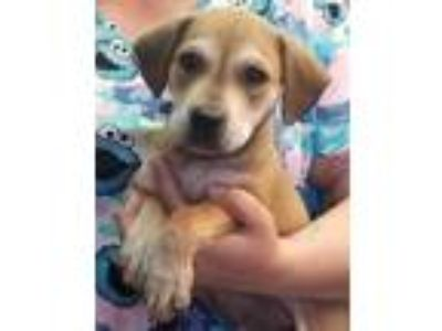 Adopt Tia a Hound (Unknown Type) / Labrador Retriever / Mixed dog in Atlantic