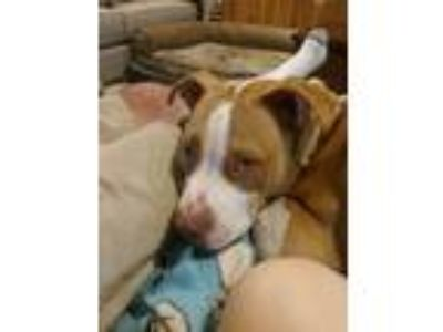 Adopt Dash a Tan/Yellow/Fawn - with White Boxer / Pit Bull Terrier / Mixed dog