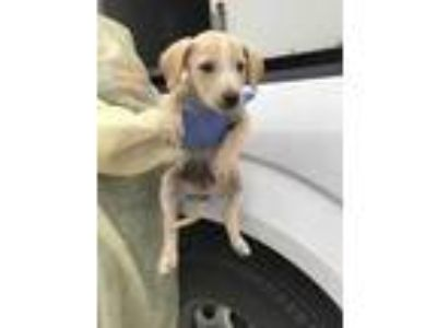 Adopt Brock a Tan/Yellow/Fawn Labrador Retriever / Mixed dog in Edinburg