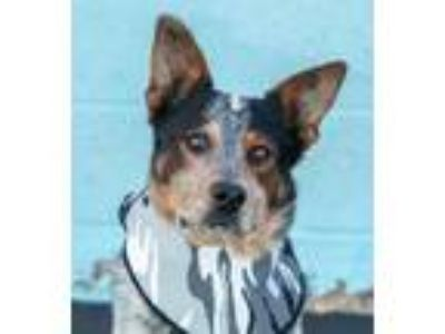 Adopt Zorro a Australian Cattle Dog / Blue Heeler