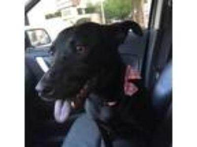 Adopt Pippa a Black Labrador Retriever dog in Allen, TX (20176515)