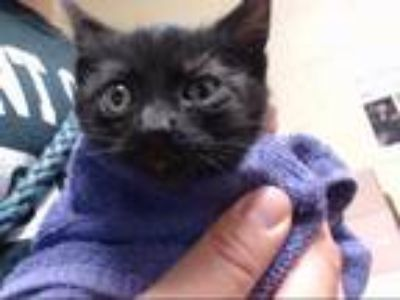 Adopt BARN CAT FIONA a Gray or Blue Domestic Shorthair / Mixed (short coat) cat