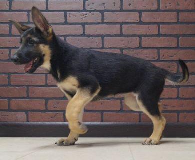 German Shepherd Dog PUPPY FOR SALE ADN-96363 - Amazing AKC German  Shepherd Puppies