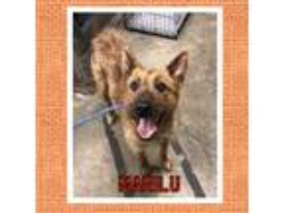 Adopt Marilu a Tan/Yellow/Fawn Wirehaired Fox Terrier / Mixed dog in Manhasset