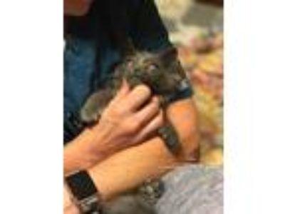 Adopt Chancey bear the sweet kitten a Gray or Blue Russian Blue (medium coat)