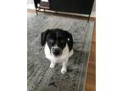 Adopt Sophie a Black - with White Cavalier King Charles Spaniel / Border Collie