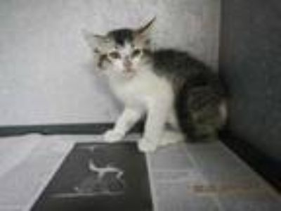 Adopt K0705 a White Domestic Mediumhair / Domestic Shorthair / Mixed cat in