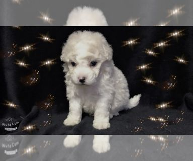 Maltese-Maltipoo Mix PUPPY FOR SALE ADN-129930 - MALTESE AND POODLE MIXED