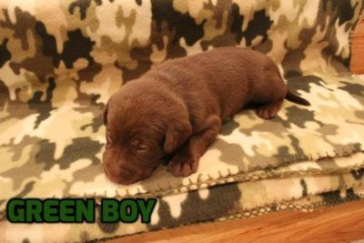 Labrador Retriever PUPPY FOR SALE ADN-62849 - Chocolate Labrador Retriever Puppies