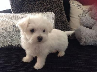 two teacup maltese puppies