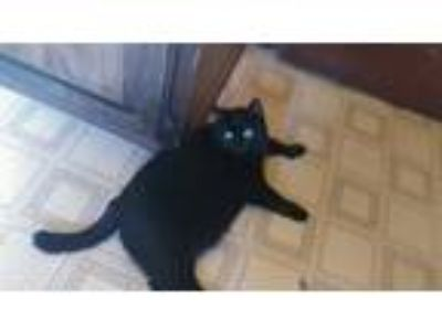 Adopt Kitty Kat a All Black Domestic Shorthair / Mixed (short coat) cat in