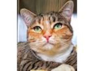 Adopt Delight a Domestic Short Hair