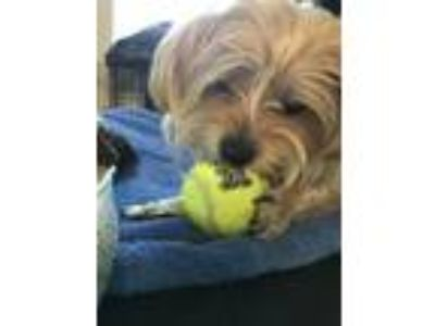Adopt WINSTON-Super sweet,friendly,playful a Yorkshire Terrier, Poodle