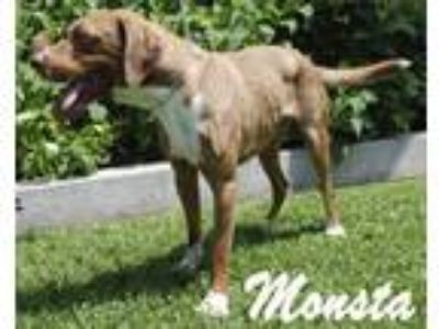 Adopt Monsta a Labrador Retriever