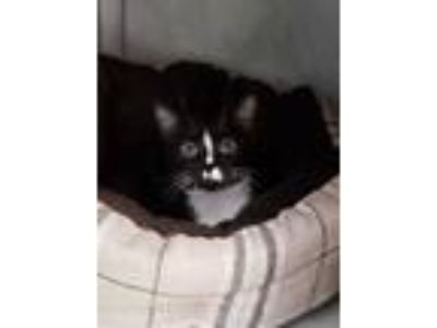 Adopt Melody a All Black Domestic Shorthair / Domestic Shorthair / Mixed cat in