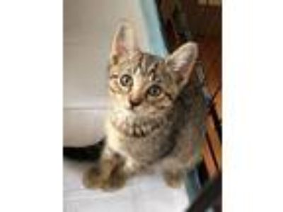 Adopt Tracy a Brown Tabby Domestic Shorthair (short coat) cat in Yaphank