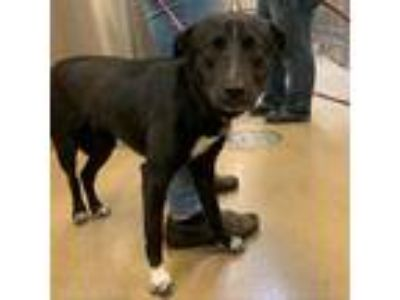 Adopt Janet Sosna a Black Labrador Retriever dog in New York, NY (25559718)