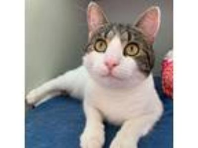Adopt Kiwi a Brown Tabby Domestic Shorthair (short coat) cat in Stamford