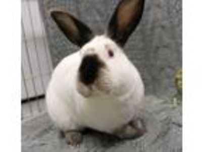Adopt Stark a White Californian / Mixed (short coat) rabbit in Livermore