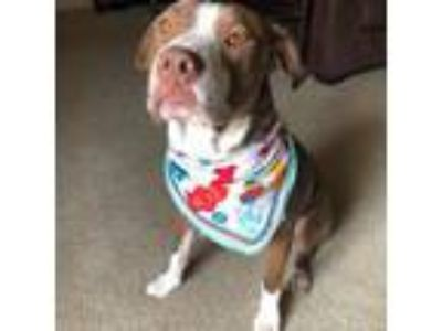 Adopt Steve a Pit Bull Terrier, American Staffordshire Terrier