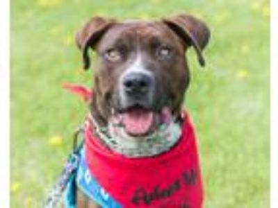 Adopt Stevie a Brindle Blue Heeler / Pit Bull Terrier / Mixed dog in Lakeville