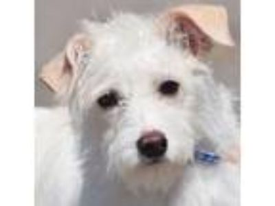 Adopt Scrappy a Jack Russell Terrier, Wirehaired Terrier