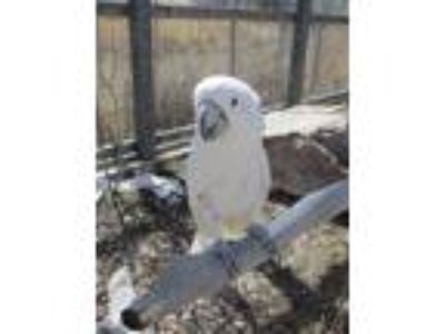 Adopt Wiley a Cockatoo