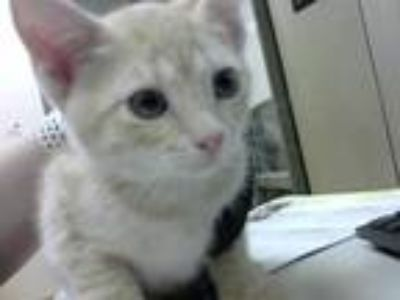 Adopt GRACIE a Tan or Fawn Tabby Domestic Shorthair / Mixed (short coat) cat in