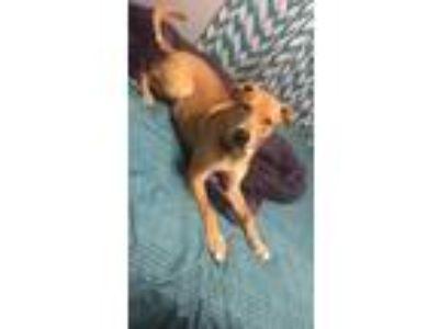 Adopt Brutus a Tan/Yellow/Fawn German Shepherd Dog / American Pit Bull Terrier /