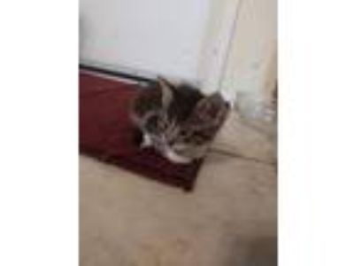 Adopt Kitten a Brown Tabby American Shorthair cat in Ceres, CA (25293864)
