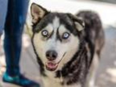 Adopt LOLA BUNNY a White - with Black Husky / Mixed dog in Martinez