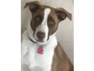 Adopt BANDIT a Brown/Chocolate - with White Border Collie / Mixed dog in