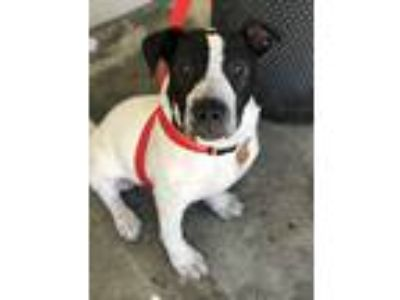 Adopt Garth Robinson a White - with Black Mixed Breed (Large) / Pointer / Mixed
