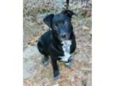 Adopt Shiloh a Black Labrador Retriever / Mixed dog in Walpole, MA (20446035)