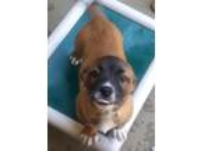 Adopt Kirby a Mixed Breed (Small) / Mixed dog in Huntsville, AL (25352302)