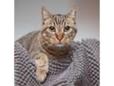 Adopt Daniel a Domestic Short Hair