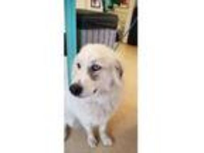 Adopt Maggie Mae a Great Pyrenees, Siberian Husky
